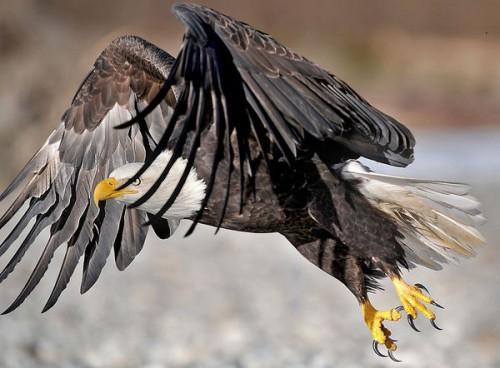 EaglenearSkagitRiver.jpg (58 KB)
