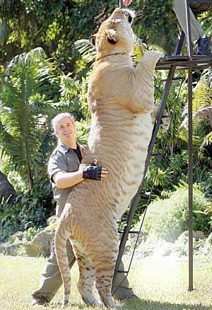 liger.jpg (40 KB)