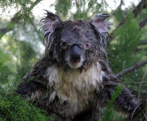 koalapissed.jpg (306 KB)