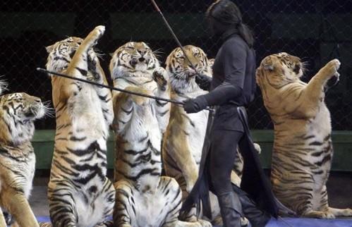 Tigers-hind-legs_1373622i.jpg (54 KB)