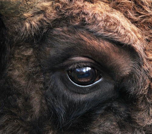 678px Bison bonasus right eye close up 500x442 Bison eye Cute As Hell Animals