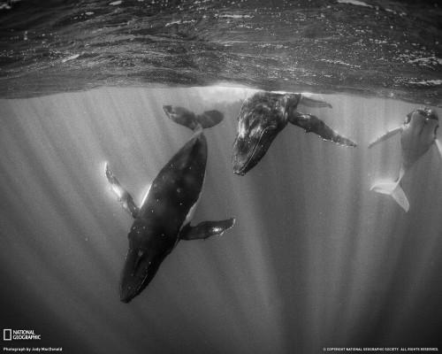 humpback-whales-tahiti-xl.jpg (302 KB)