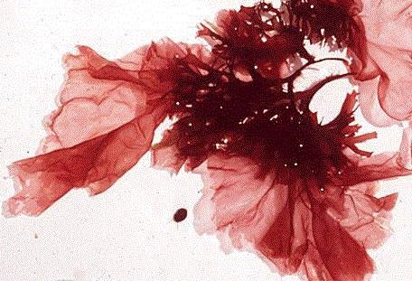Rhodophyta.jpg (68 KB)
