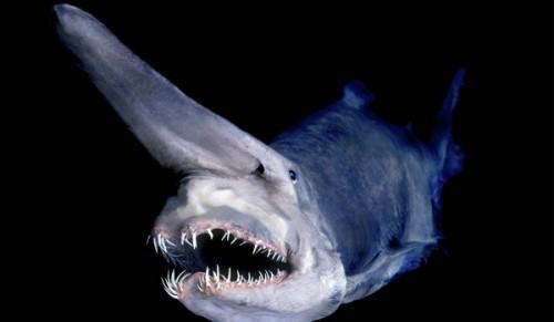 goblin-shark.jpg (62 KB)