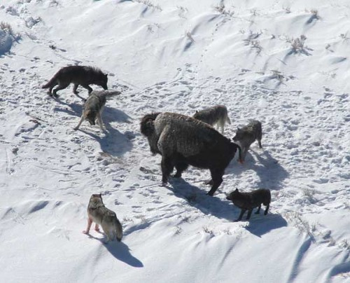 Canis_lupus_pack_surrounding_Bison.jpg (44 KB)