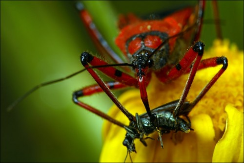 Assassin Bug 500x333 Assassin Bug red Nature