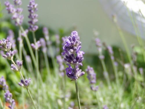 3651866537 c25ed19c08 b 500x375 Gargoyles and Lavender Art