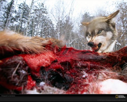 wolf deer sartore 513176 xl 500x400 National Geographic: Snarling Wolf Nature