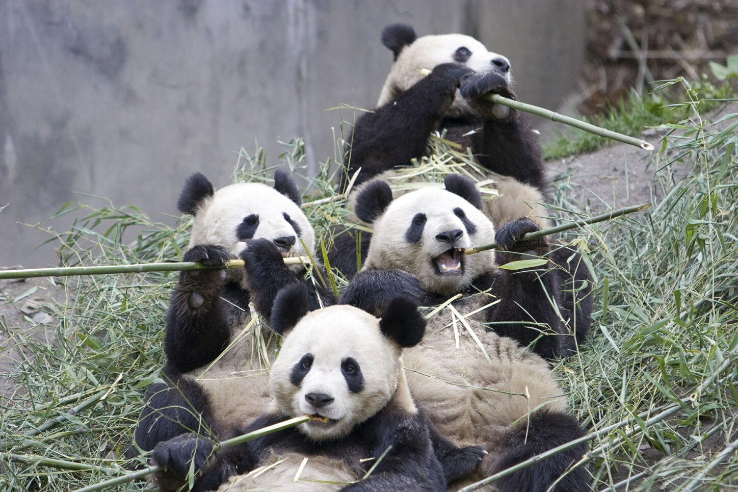 01-giant-panda-group-eating-bamboo.jpg