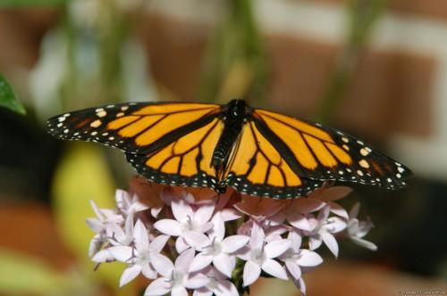 Butterflies 2 500x332 Butterflies :) Nature