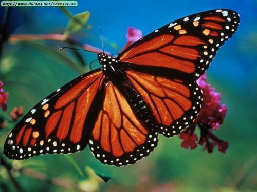 monarch butterflies 500x375 Butterflies :) Nature