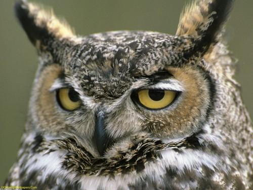 Great-Horned-Owl-1.jpg (398 KB)