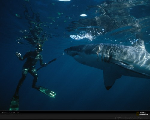 great white and diver 649471 xl 500x400 National Geographic: Great White Shark And Diver wtf Nature