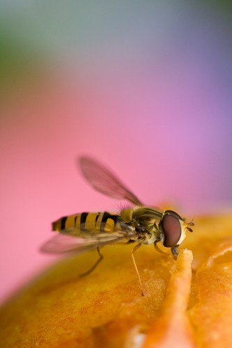 hover 333x500 Hoverfly Nature