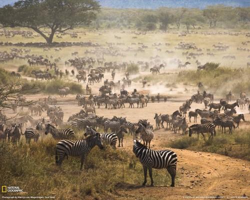 zebra-migration-tanzania-081909-xl.jpg (322 KB)