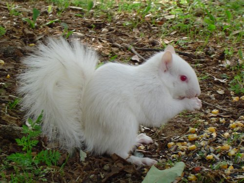 albinosquirrel Albino Squirrel wtf Nature