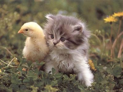 97bf17d36f602d33c7e868e2f1ea4c23.thumbnail Kitty and Ducky Cute As Hell Animals