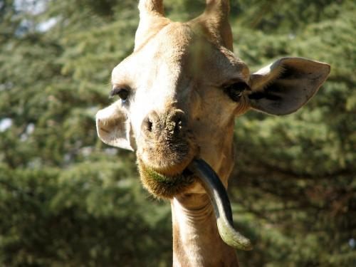 Giraffe Tounge