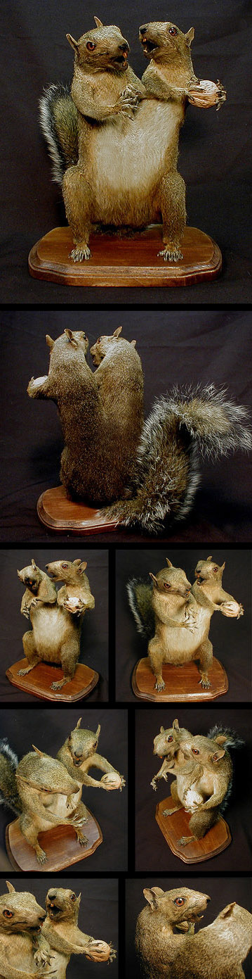 conjoinedsquirrels Conjoined Squirrel Taxidermy wtf Nature Fantasy   Science Fiction Dark Humor