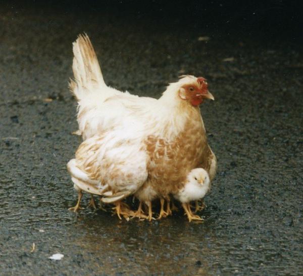 mutant-chicken.jpg