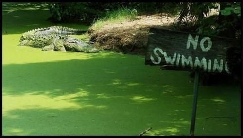 no-swimming-gator.jpg