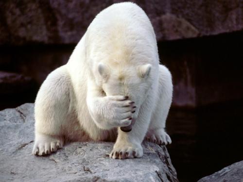 polar-bear-face-palm.jpg