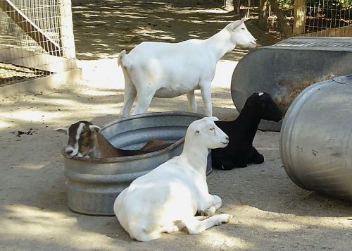lamancha-goats.jpg