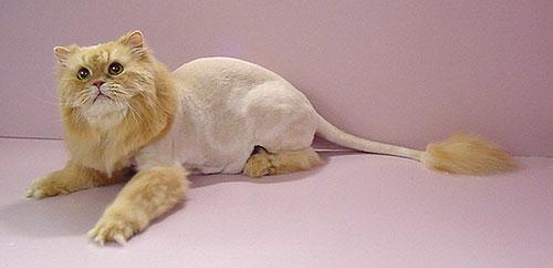 lion-cut.jpg