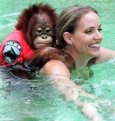 monkey swim.thumbnail Orangutan Swimmer Nature Humor