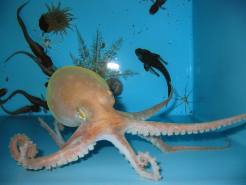 octopus pet 500x375 My Pet Octopus Nature