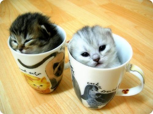 two-kittens-two-cups.jpg