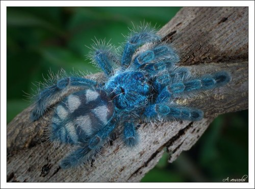 Blue Haired Spider