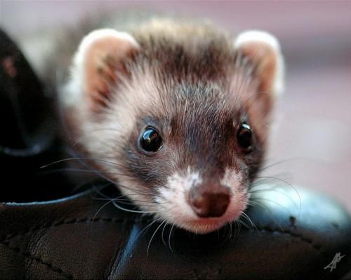 Ferret Close Up