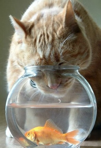 cat vs fish in fish bowl 341x500 Cat Vs Fish In Fish Bowl lolcats Humor