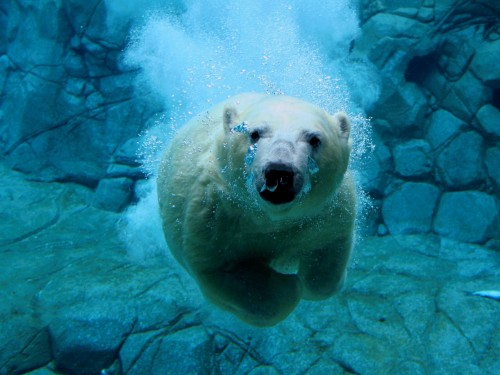polar bear diver 500x375 polar bear diver Nature Cute As Hell Animals
