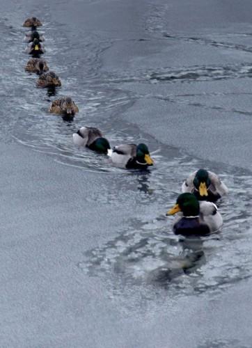 Duck Line