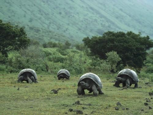 Herd Of Turtoises