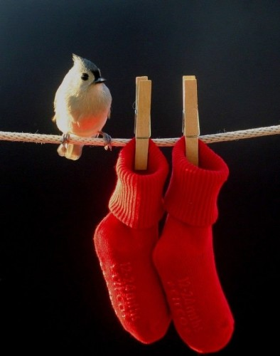 red socks bird 394x500 Red Socks bird Nature Humor