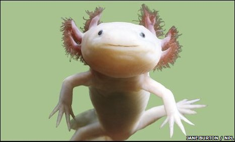 46266038 01132212 Axolotl  Cute As Hell Animals