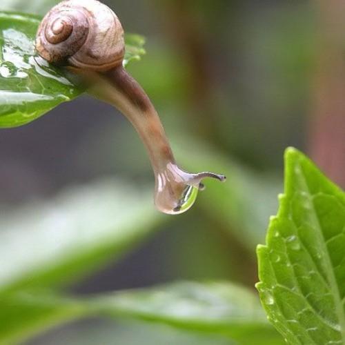 drippy snail