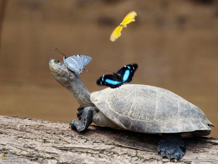 butterflies on turttle