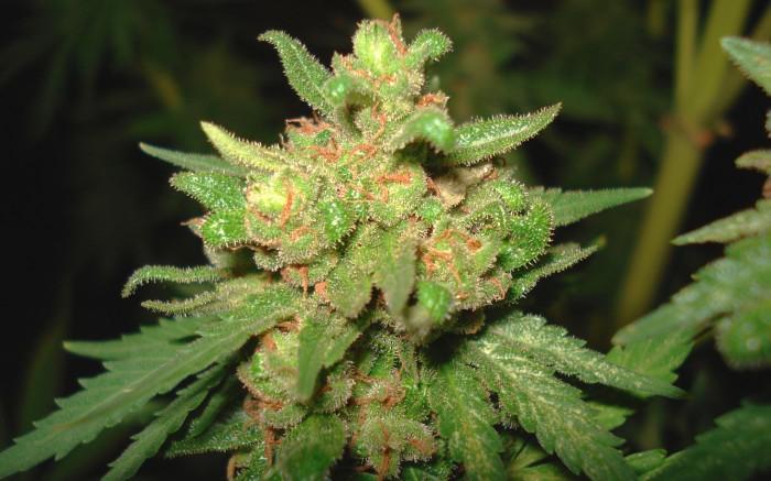 weed close up