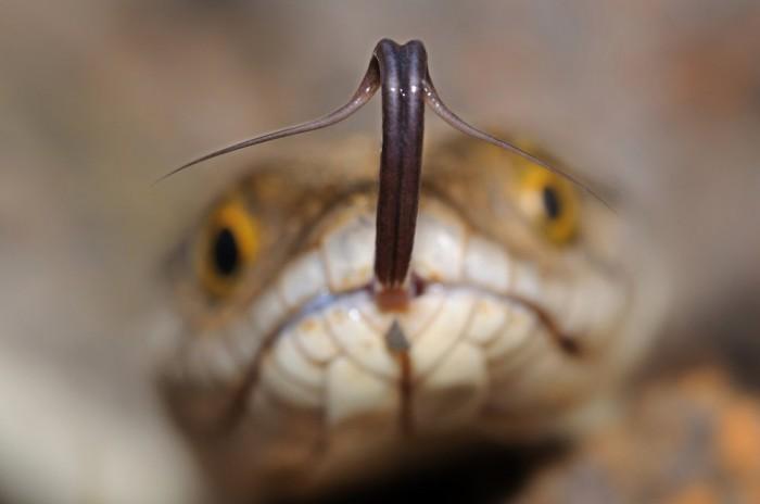 snake tongue.jpg
