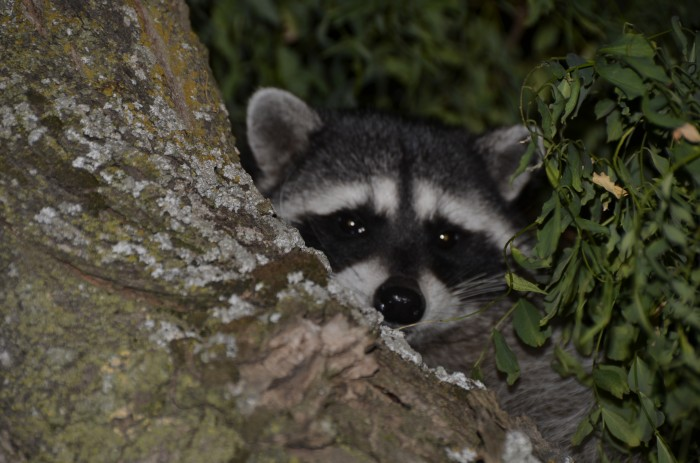 dsc8070 700x463 raccoon looks into your soul raccoon god Animal