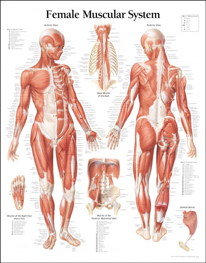 female muscular system 700x890 female muscular system Science!