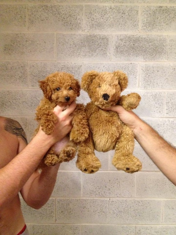 Puppy or Teddy Bear Puppy or Teddy Bear