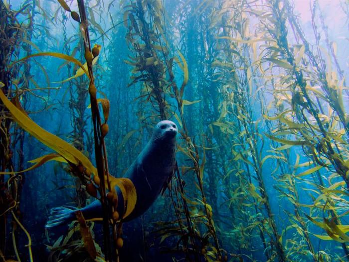 super seal in a kelp farm.jpg