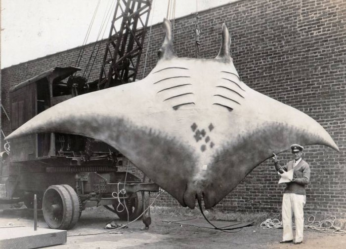 a very large ray.jpg