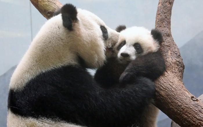 Panda Kisses.jpg