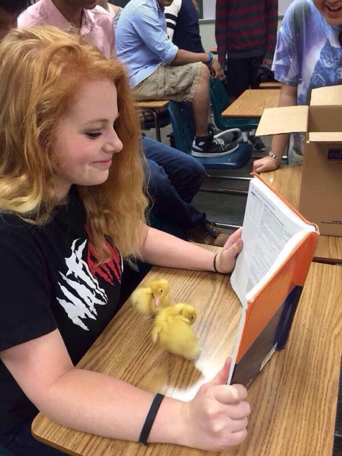 class chicken chicks.jpg
